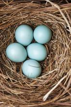 Bluebird Eggs In A Nest