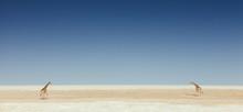 Two Giraffes On A Salt Flat In Namibia