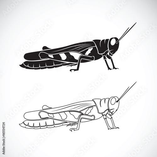 Obraz na płótnie Vector of grasshopper on white background. Insect Animal.