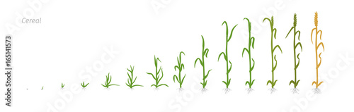 Fototapeta Wheat plant Triticum cultivation agriculture Growth stages vector illustration obraz