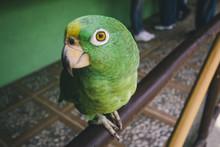 Green Parrot Closeup