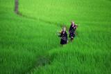 Kobieta z plemienia górskiego chodzi po polach ryżowych. - 165158348