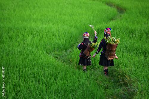 Fotografie, Obraz  The hill tribe woman walks in the rice paddies.