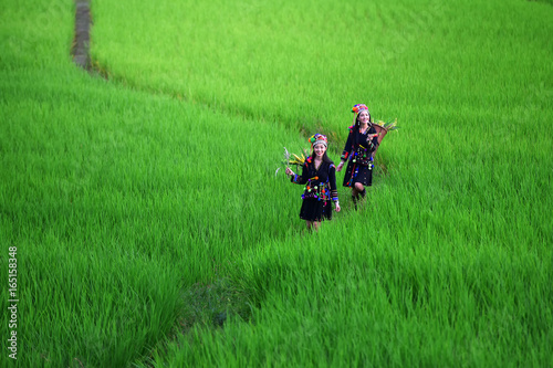 The hill tribe woman walks in the rice paddies. Tapéta, Fotótapéta