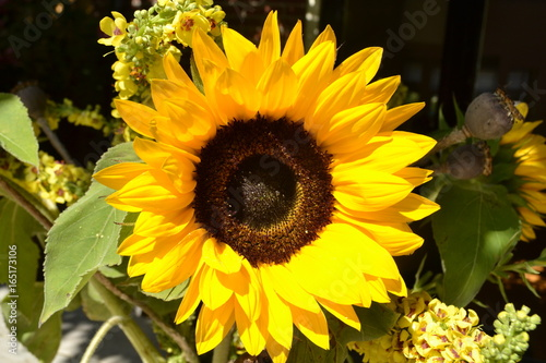 Printed kitchen splashbacks Sunflower de zonnebloem bloeit volop in de stadstuin