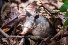 Armadillo In Panama Rain Forest