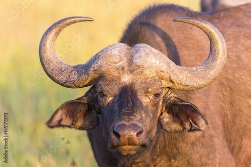 Staande foto Buffel African buffalo portrait