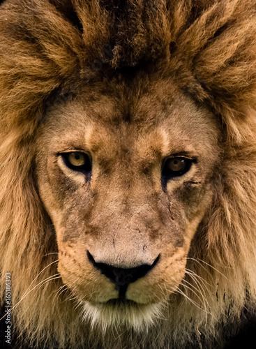 cara de leon Canvas Print