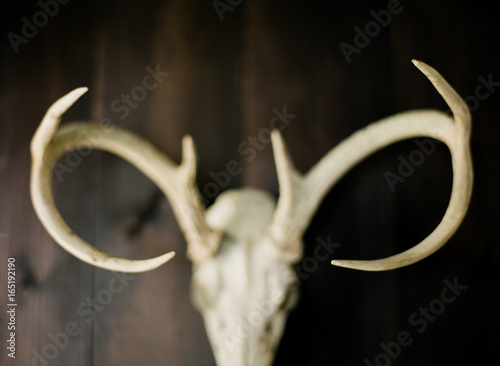 White natural deer buck skull on dark wood background
