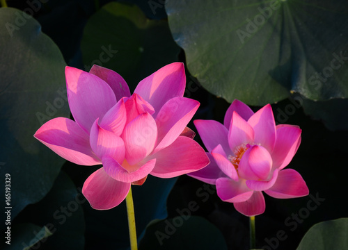 Staande foto Lotusbloem Lotus flower blooming at summer time