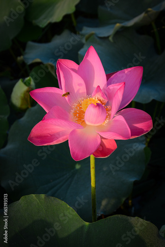 Photo Stands Lotus flower Lotus flower blooming at summer time