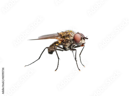 Ugly Drosophila Fly Diptera Insect Isolated on White