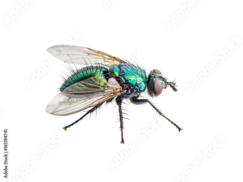 Drosophila Fly Diptera Insect Isolated on White