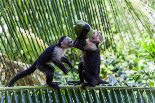 White-headed capuchin in Manuel Antonio National Park, Costa Rica Tablou Canvas