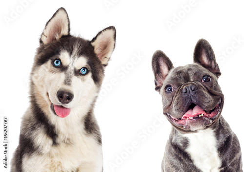 Poster Bouledogue français Portrait of Siberian husky And the French bulldog on white background