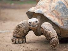Big Land Tortoise Crawling In ...