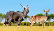 Male And Female Nyala Antelope (Tragelaphus Angasii). Wildlife Animal.