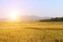 Ripe Rice Field
