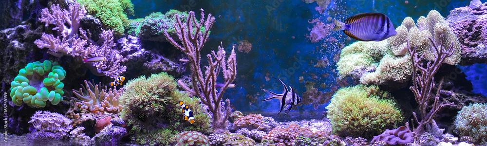 Fototapeta Reef tank, marine aquarium full of fishes and plants. Tank filled with water for keeping live underwater animals. Gorgonaria, Clavularia. Zoanthus. Zebrasoma. Percula. Oxycirrhites typus, Bleeker.