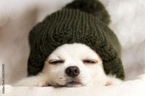 Fotografie, Obraz  チワワの冬のお昼寝