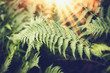 canvas print picture Tropical Fern leaves with sunbeam,  nature background