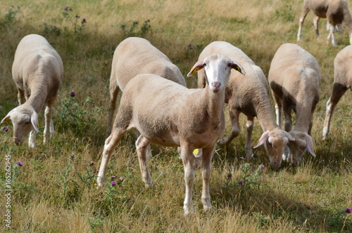 Troupeau de mouton Canvas Print