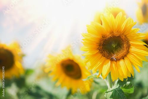 beautiful-sunflowers-in-garden