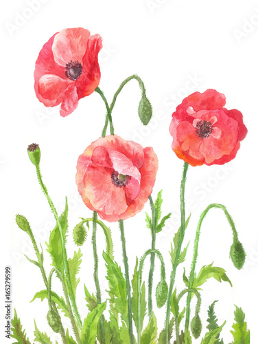Canvas Prints Poppy Three garden poppies in watercolor. Composition of field red flowers. Botanical illustration on white background. Hand drawn art