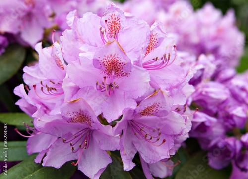 Plakat Kwiatonośny krzak różowy różanecznik