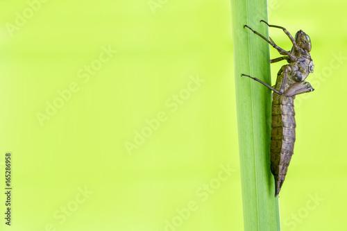 die Exuvie einer Libelle vor grünem Hintergrund
