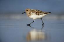 A Sanderling Shorebird Walks Along Wet Sand With Its Reflection Showing With A Blue Ocean And Sky Background.