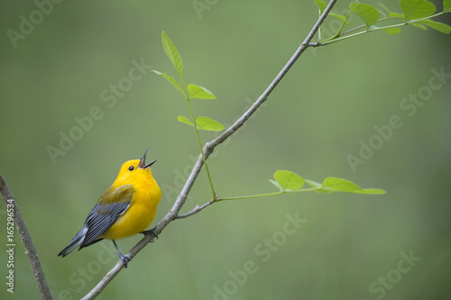 Foto op Plexiglas Vogel A bright yellow Prothonotary Warbler sings out loudly while perched on a small branch with fresh spring leaves with a smooth green background.
