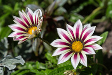 Gazania Flowers