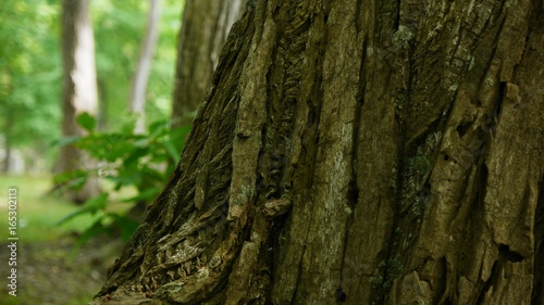 Fotografie, Obraz  太い幹のクローズアップ 森風景