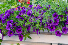 Violet Petunias On A White Fence