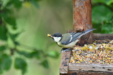 Blue Titmouse Eats Seeds In Th...