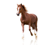 Fototapeta Konie - red horse with the three white legs and white line on the face isolated on white background runs