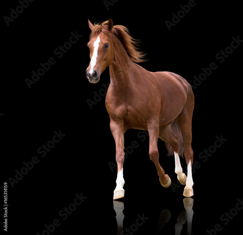 red horse with the three white legs and white line on the face isolated on black background runs