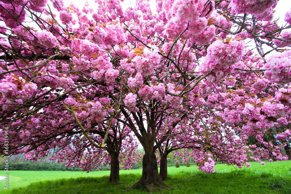 Fototapety, obrazy: Sakura japonais rose vif