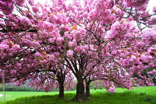 Tuinposter Azalea Sakura japonais rose vif