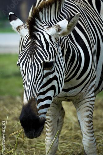 Poster de jardin Zoo Zebra's head