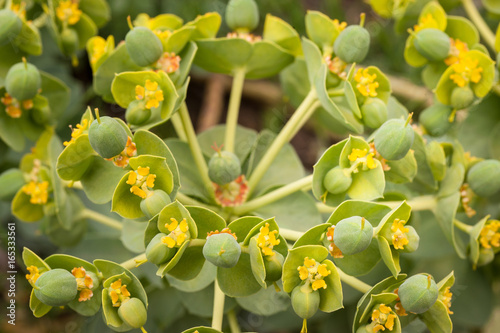 Closeup of euphorbia flowers bloomin Canvas Print