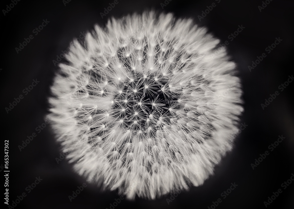 Fototapety, obrazy: Close up of a dandelion on black and white