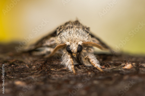 Ταπετσαρία τοιχογραφία Nut-tree tussock moth (Colocasia coryli) head on