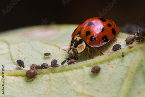 Harlequin ladybird (Harmonia axyridis) adult eating aphid. Predatory beetle in family Coccinellidae feeding on blackfly
