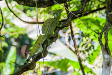 Plumed Basilisk (Basiliscus Plumifrons), Also Called A Green Basilisk In A Forest Near La Fortuna, Costa Rica