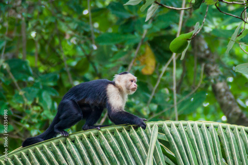 Fotografie, Tablou White-headed capuchin monkey (Cebus capucinus) in Cahuita National Park, Costa R