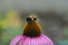 Pollinating Bees