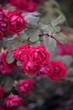 piękne różowe róże na krzewie