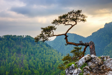 Panel SzklanySokolica peak in Pieniny Mountains with a famous pine at the top, Poland